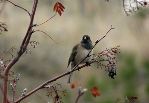 Black headed Junco